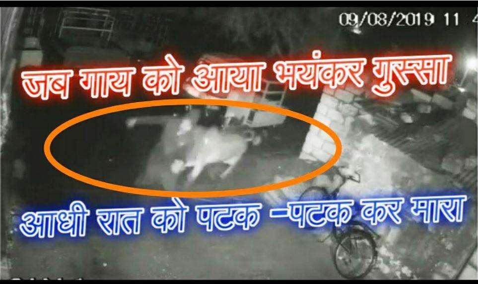 गाय का भयंकर गु्स्सा देखा है कभी, इस वीडियो पर यकीन कर पाना है मुश्किल